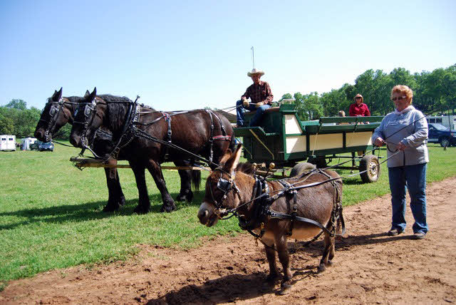 Team of draft horses and miniature donkey